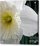 Daffy-down-dilly Acrylic Print