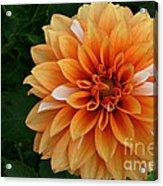 Dahlia 7001 Acrylic Print