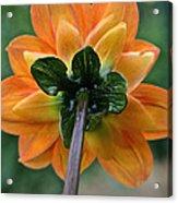 Dahlia 9001 Rearview Acrylic Print