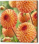 Dahlia Dahlia Sp Mirella Variety Flowers Acrylic Print