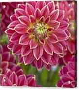 Dahlia Dahlia Sp Optimist Variety Acrylic Print