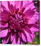 Dahlia Describes The Color Pink 1 Acrylic Print