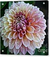 Dahlia Dewdrops Acrylic Print
