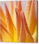 Dahlia Flower 14 Acrylic Print