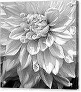 Dahlia In Black And White Acrylic Print