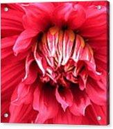 Dahlia In Red Acrylic Print