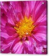 Dahlia Named Pink Bells Acrylic Print