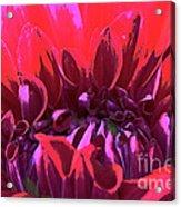 Dahlia Over Exposed Acrylic Print