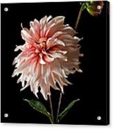 Dahlia With Bud Acrylic Print