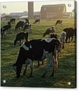 Dairy Cattle Grazing Acrylic Print