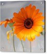 Daisies 4 Acrylic Print