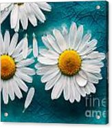 Daisies Floating In Water Acrylic Print