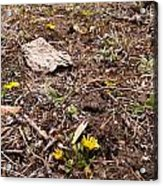 Daisies In The Dirt Acrylic Print