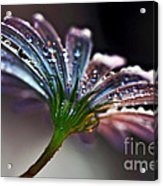 Daisy Abstract With Droplets Acrylic Print
