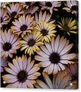 Daisy Beauty Acrylic Print