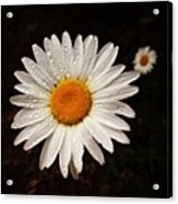 Daisy Dew Acrylic Print by Steve Garfield