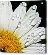 Daisy Drops Acrylic Print