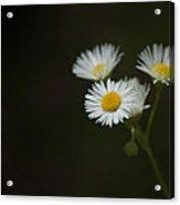 Daisy Fleabane Acrylic Print