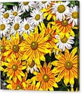 Daisy Garden Acrylic Print