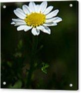 Daisy In Full Growth Acrylic Print