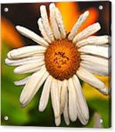 Daisy In The Rain Acrylic Print