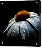 Daisy Morning  Acrylic Print