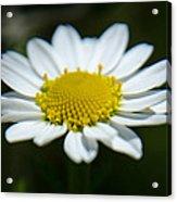 Daisy On Green Acrylic Print