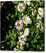 Daisy Production Line Acrylic Print