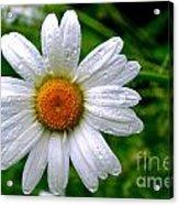 Daisy Shower Acrylic Print