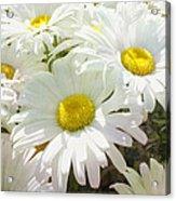 Daisy Summer Garden Acrylic Print