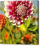 Dalhia In Bloom  Acrylic Print