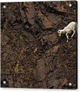 Dall Sheep Were Is Very Adapt Acrylic Print
