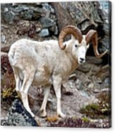 Dall's Sheep Acrylic Print