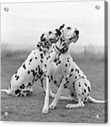 Dalmatians Acrylic Print