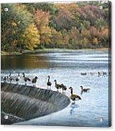 Dam Geese Acrylic Print