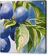 Damson Plums Acrylic Print by Sharon Freeman