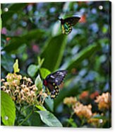 Dance Of The Butterflies Acrylic Print