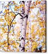 Dancing Birches Acrylic Print