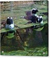 Dancing Penguins Acrylic Print