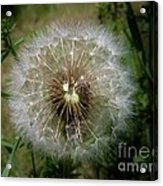 Dandelion Going To Seed Acrylic Print