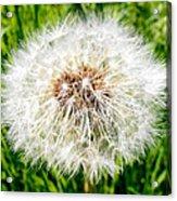 Dandelion Seedlings Acrylic Print