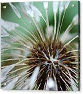 Dandelion Tears Acrylic Print by Paul Ward