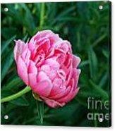 Dark Pink Peony Flower Series 2 Acrylic Print