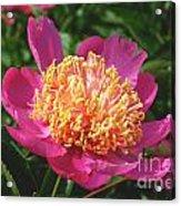 Dark Pink Peony Flower Series 3 Acrylic Print