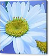 Darling Daisies Acrylic Print by Becky Lodes