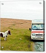 Dartmoor Pony Fancies An Ice Cream Acrylic Print
