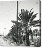 Date Palms On A Country Road Acrylic Print