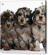 Daxiedoodle Poodle X Dachshund Puppies Acrylic Print