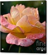 Day Breaker Floribunda Acrylic Print