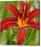 Day Lilly In Diffused Daylight Acrylic Print